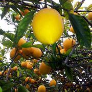 Esemplare di limone con frutti