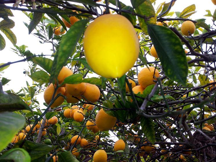 Tecniche potare il limone tecnica potatura potatura for Potatura limone periodo