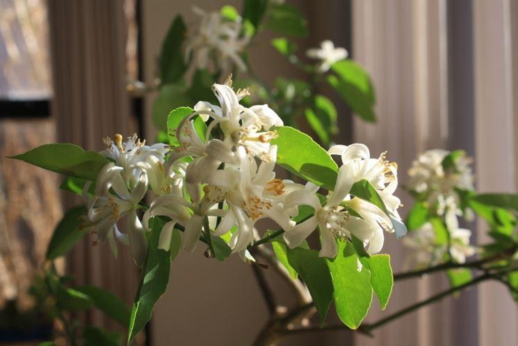 Esemplare di limone fiorito