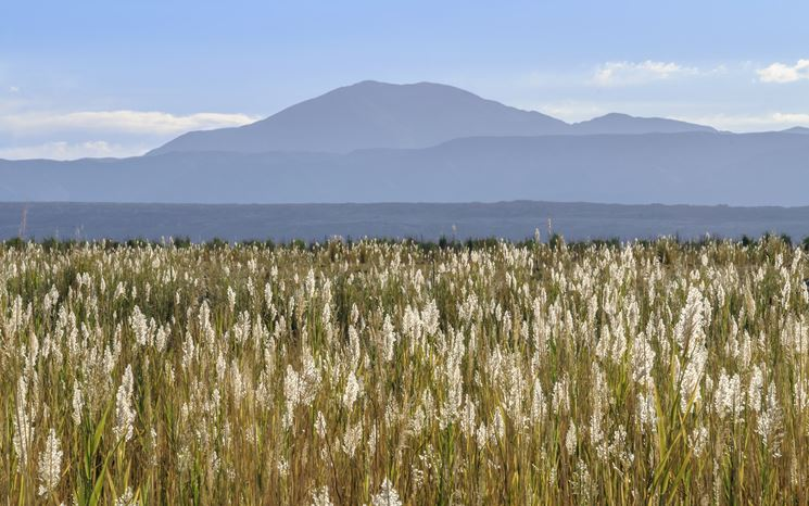 Una distesa di Phragmites Australis