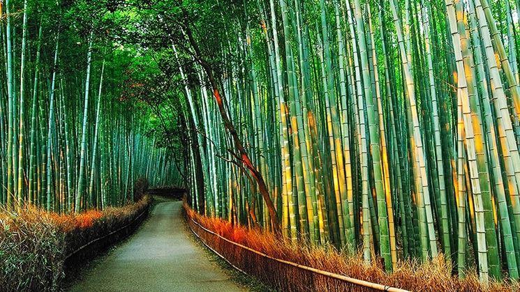 Piantagione di bamboo