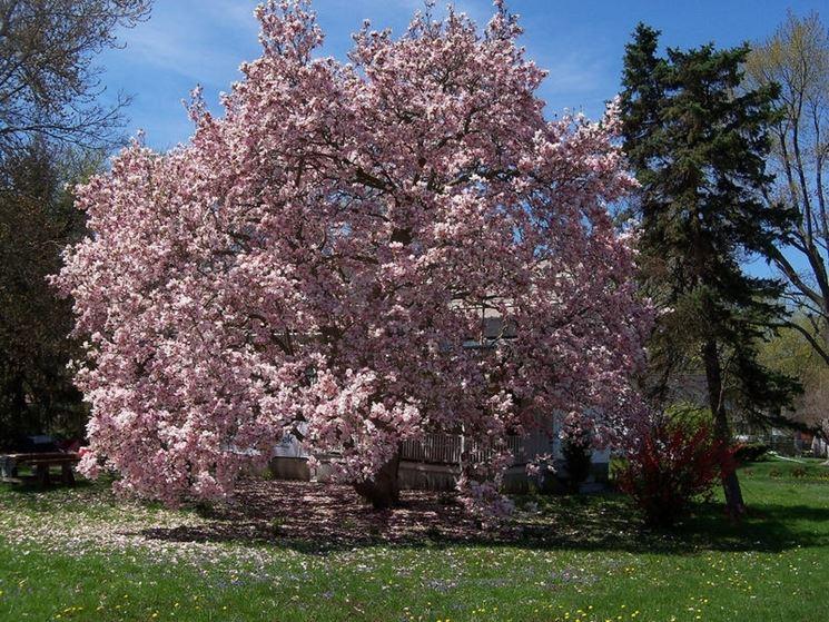 alberi di magnolia