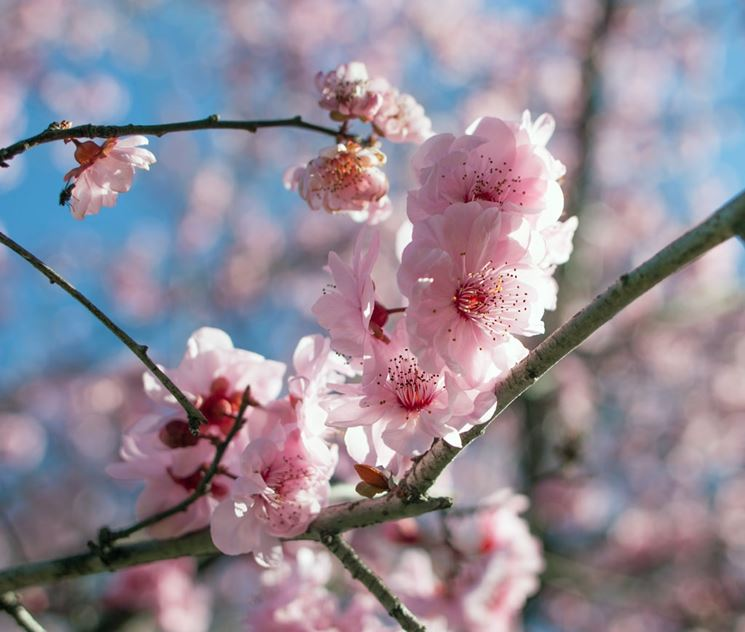 Fiori Prunus