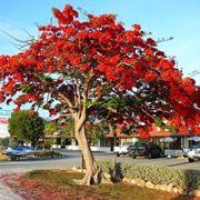 Un flamboyant o albero di fuoco
