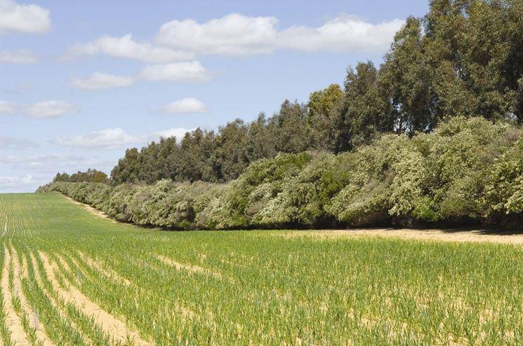 Doppia barriera di alberi frangivento