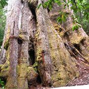 Splendido esemplare di albero gigante