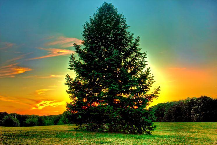 Un grande pino al tramonto