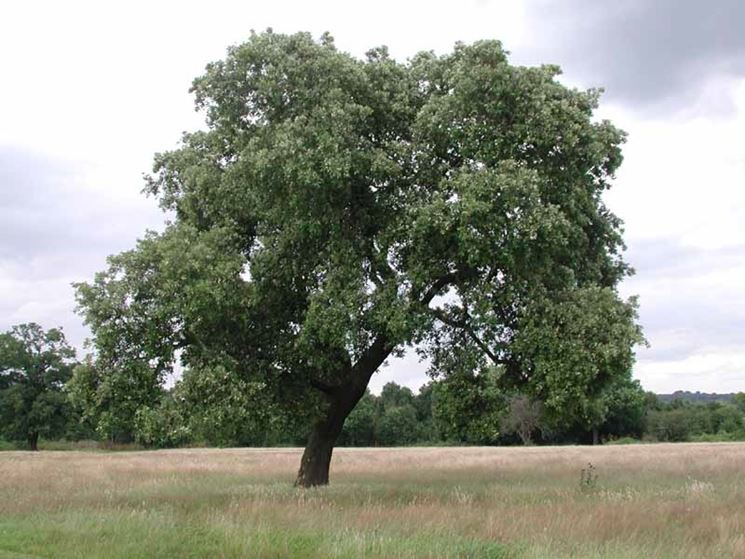 Alberi italiani alberi da giardino variet piante - Alberi da piantare in giardino ...