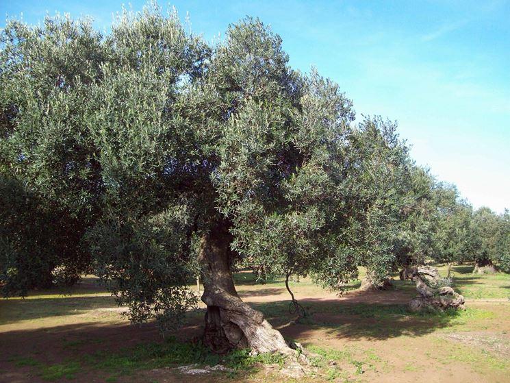 Albero di olivo secolare