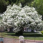 Albero oleandro