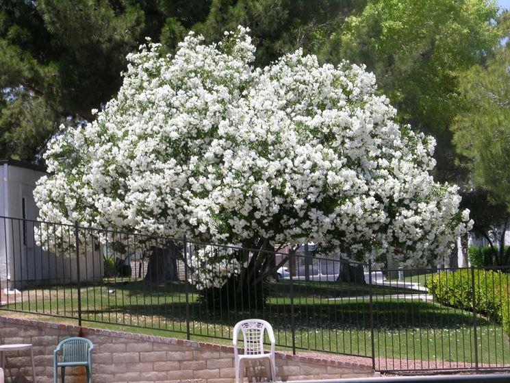 Alberi mediterranei alberi da giardino variet albero for Alberi fioriti da giardino