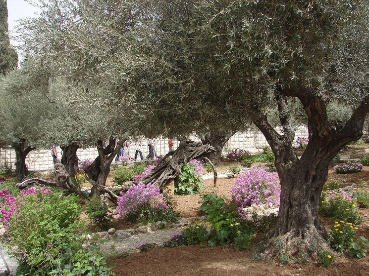 Ulivi giardino