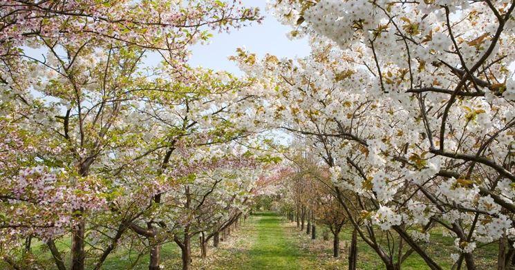 Alberi per viali fioriti