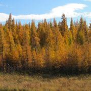 Un bosco di larici