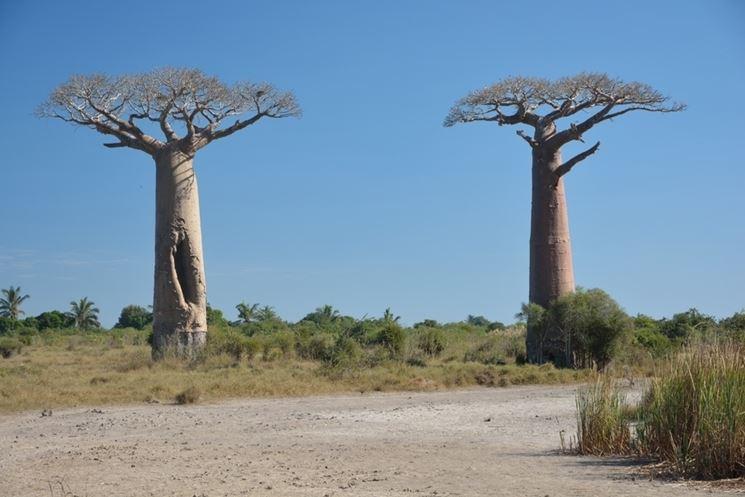 Alberi baobab