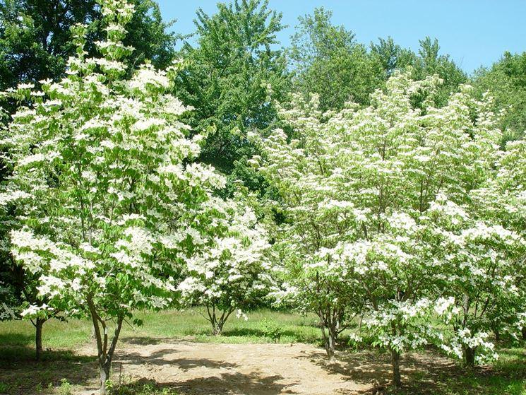 Alberi alberi da giardino tipologie di albero - Alberi da giardino ...