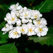 Foglie e fiori di Biancospino