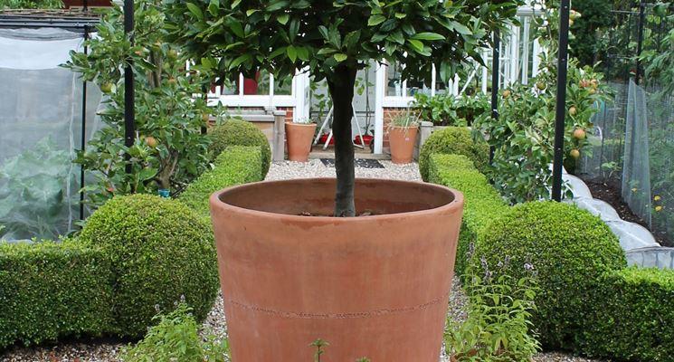 Esempio di pianta di alloro in vaso