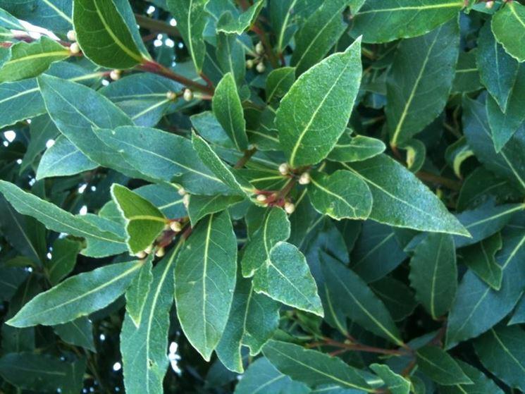 Particolare delle foglie di alloro