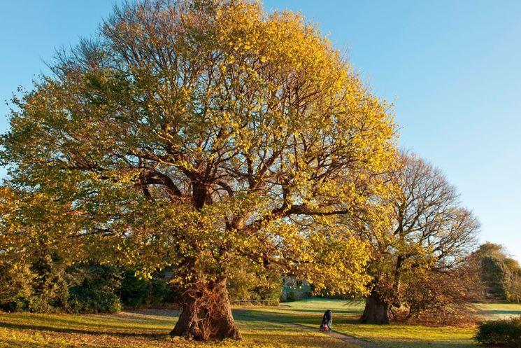 Esemplare di albero caducifoglie