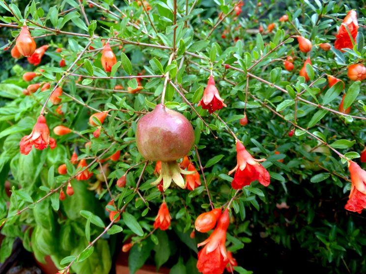 Fiori e frutti di melograno