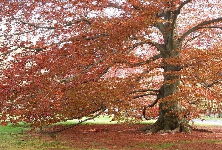 Quercia rossa in autunno
