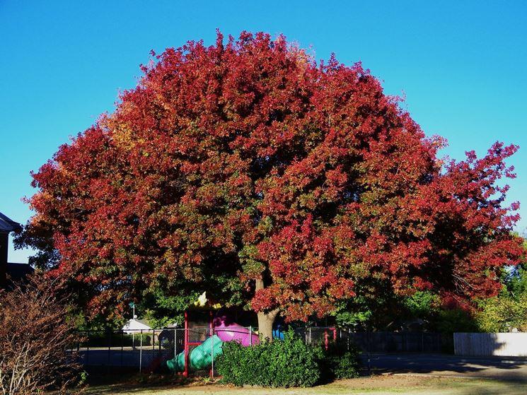 esemplare di quercia rossa