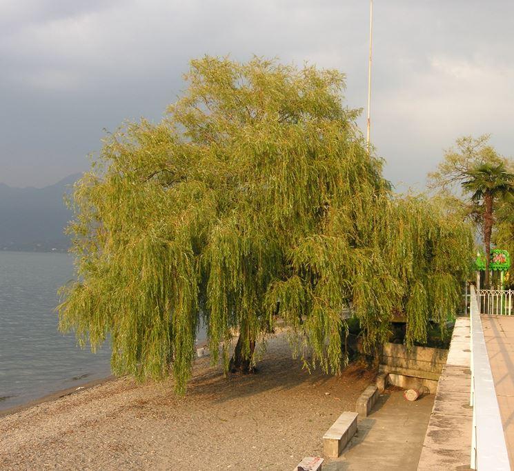Salice piangente alberi da giardino il salice piangente - Alberi da piantare in giardino ...
