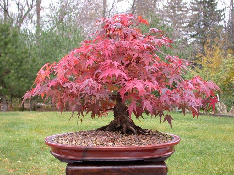 Uno splendido bonsai