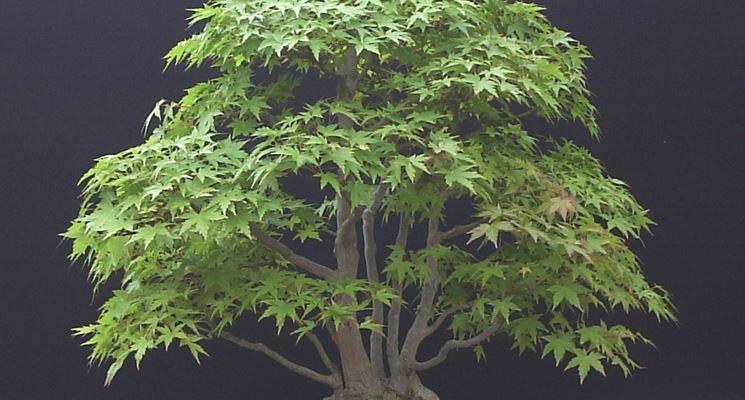 Bonsai acero palmato verde