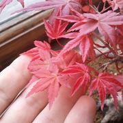 Foglie di bonsai acero rosso