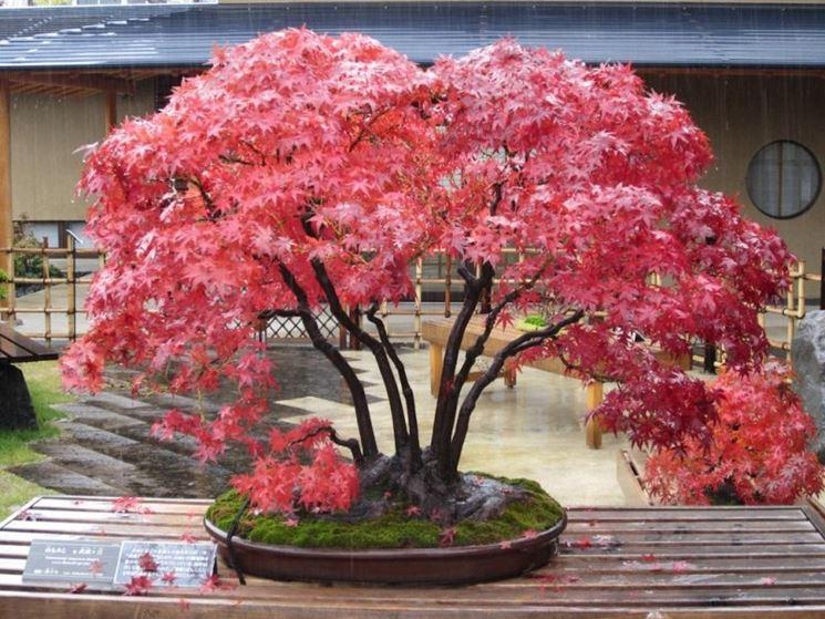 Bonsai acero rosso cura bonsai variet bonsai for Acero rosso canadese prezzo