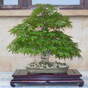 Esemplare di Bonsai acero