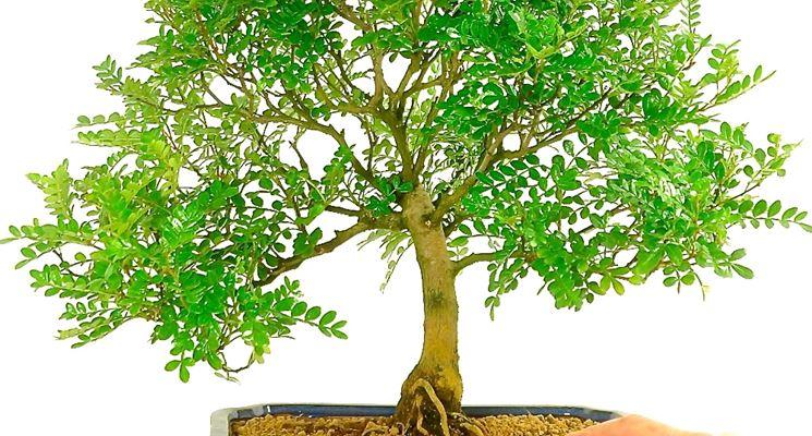 Bonsai albero del pepe