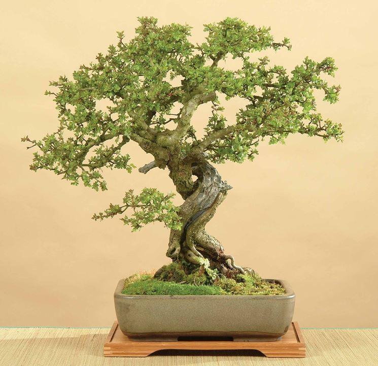 Giovane bonsai biancospino