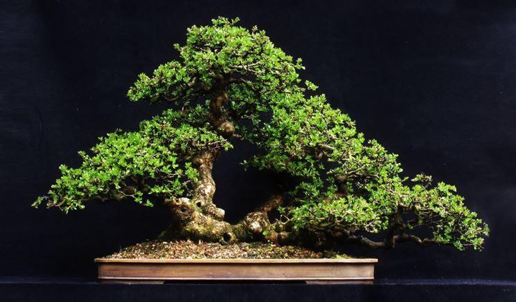 Esempio di bonsai biancospino