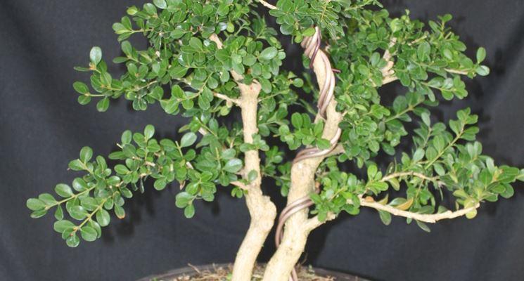 Giovane esemplare di Bonsai bosso