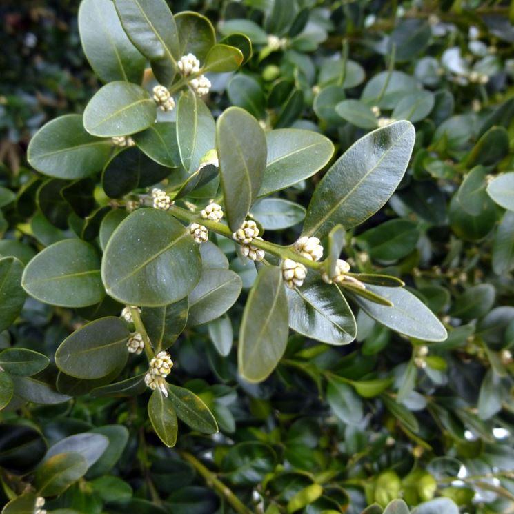 Bonsai bosso cura bonsai bonsai di bosso for Pianta bosso prezzo