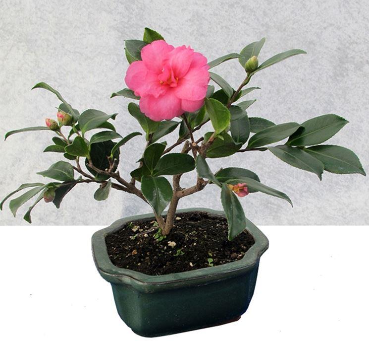 Esemplare di bonsai camelia