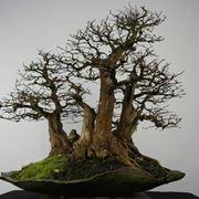 Bonsai carpino senza foglie