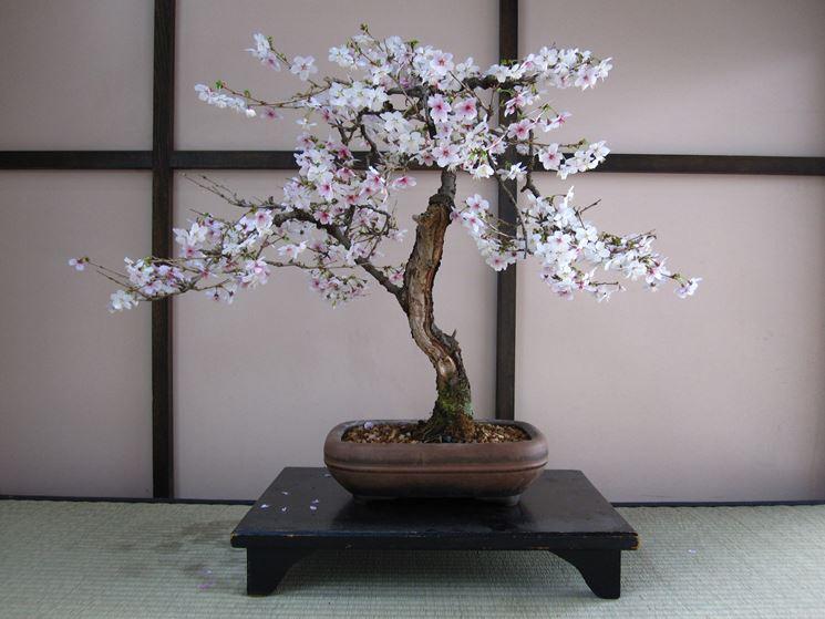 Fiori bonsai ciliegio