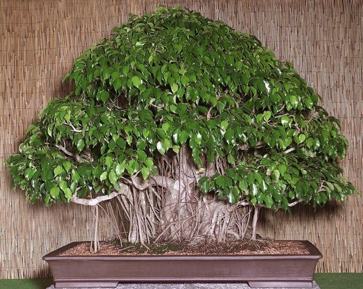 Bonsai ficus benjamin cura bonsai coltivare bonsai ficus for Ficus benjamin potatura
