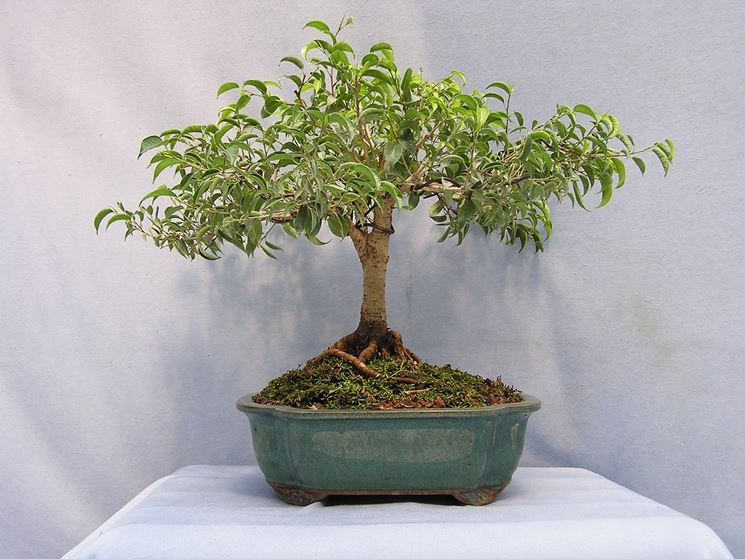 bonsai ficus benjamin cura bonsai coltivare bonsai ficus