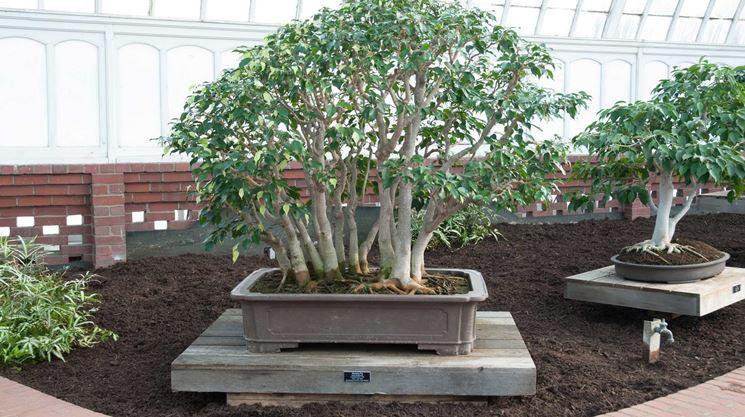 Bonsai ficus benjamin cura bonsai coltivare bonsai ficus for Bonsai cura