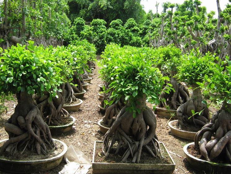 Particolare delle radici del Ficus