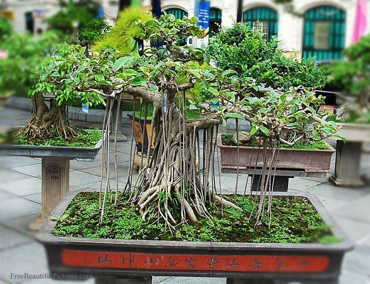 Un vecchio Bonsai Ficus