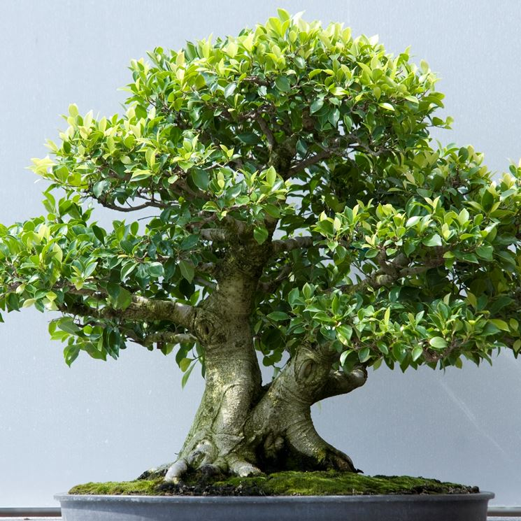 bonsai ficus microcarpa cura bonsai curare bonsai. Black Bedroom Furniture Sets. Home Design Ideas