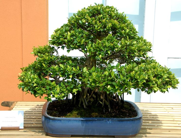 Splendido bonsai ficus microcarpa