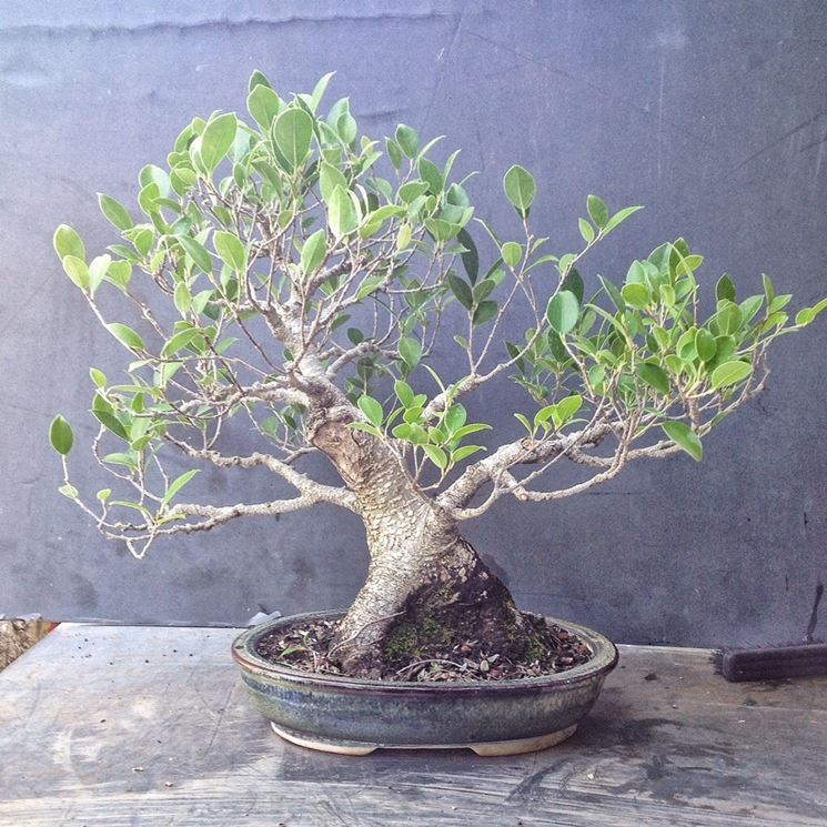 pianta bonsai ficus microcarpa