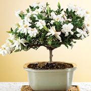 Fiori bonsai gardenia